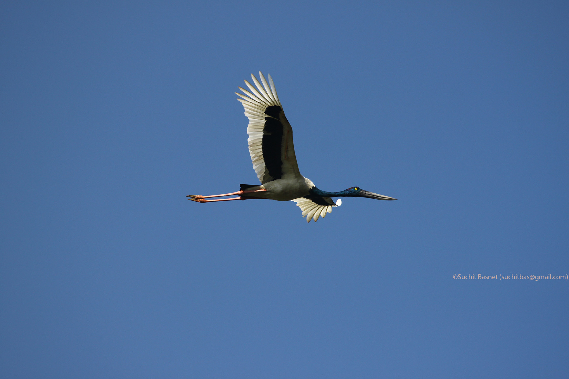 Black-necked Stork.jpg