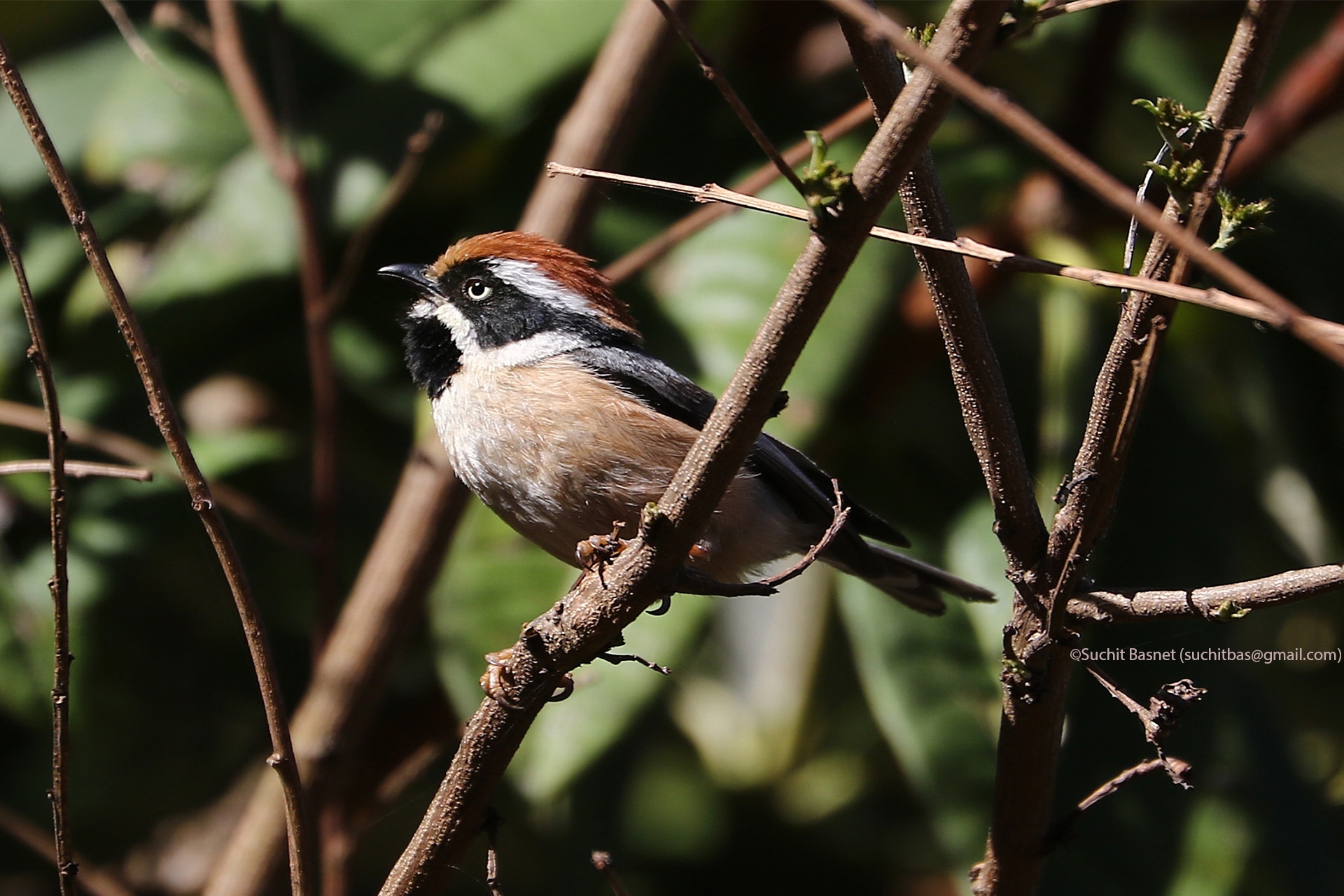 Black-throated Tit.jpg