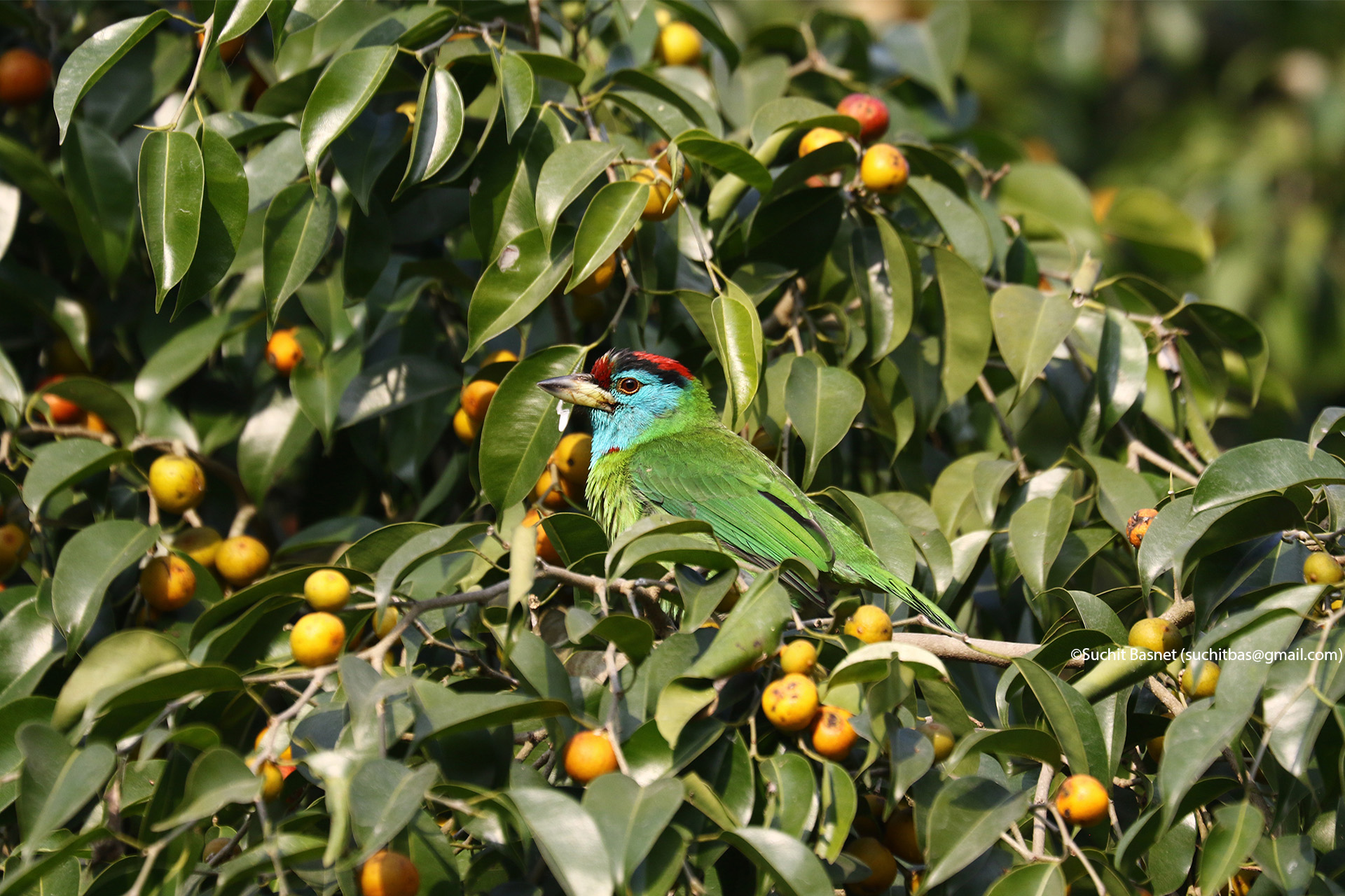 Blue-throated Barbet.jpg